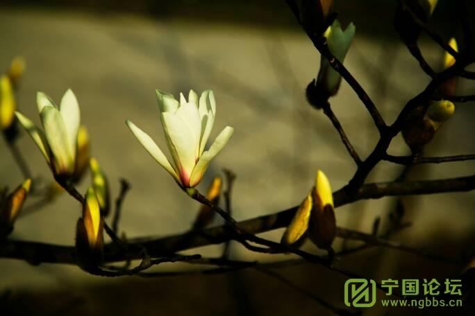 山门   玉兰花海 - 宁国论坛 - 191639sjqw76qq72ulhs6p.jpg
