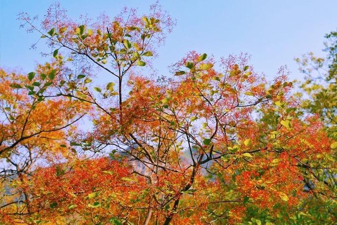 初夏京郊必去奇景,坡峰岭2000亩黄栌花开的漫山粉黛 - 宁国论坛 - 3.jpg